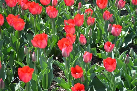 Holland, Michigan | Tulips