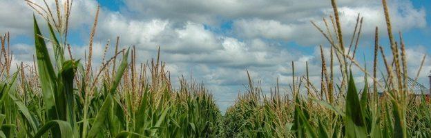 Hamilton Corn Field